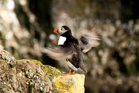 Atlantic Puffin - Papageientaucher - fratercula arctica